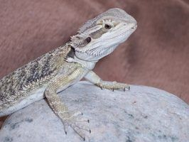 Bearded dragons will show noticeable symptoms when ill from bacterial infections.