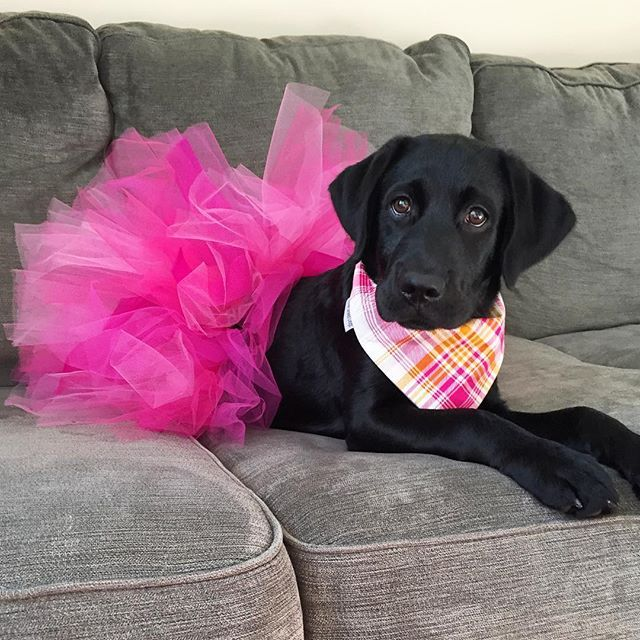 17 Best Images About Dogs Tutu On Pinterest Chihuahuas