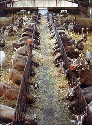 Картинки по запросу устройство козьей фермы