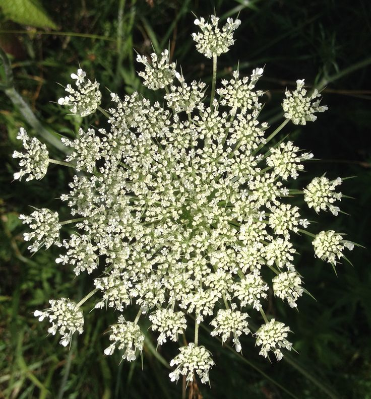 Queen Annes Lace by Ruth Baker