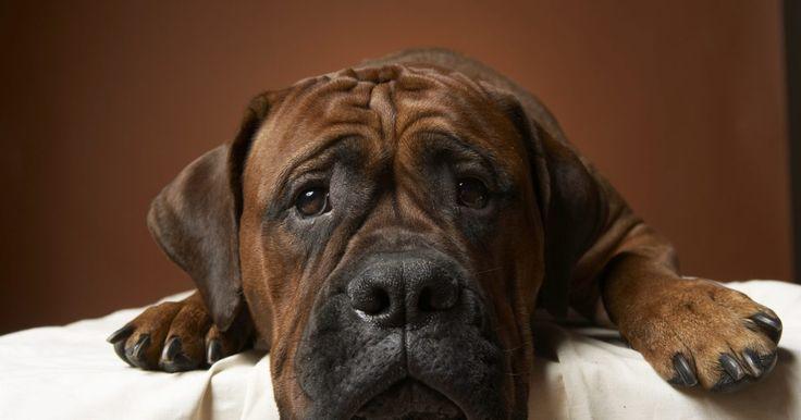 Sinais de cólica abdominal em cachorros. A cólica abdominal em cachorros pode indicar um problema tão simples como indigestão ou tão sério quanto uma doença dos rins. Outras causas possíveis incluem infecções bacterianas, úlceras, complicações na gestação e pancreatite. Se seu cachorro estiver sofrendo de cólicas abdominais contínuas, leve-o a um veterinário para descobrir a causa exata. ...