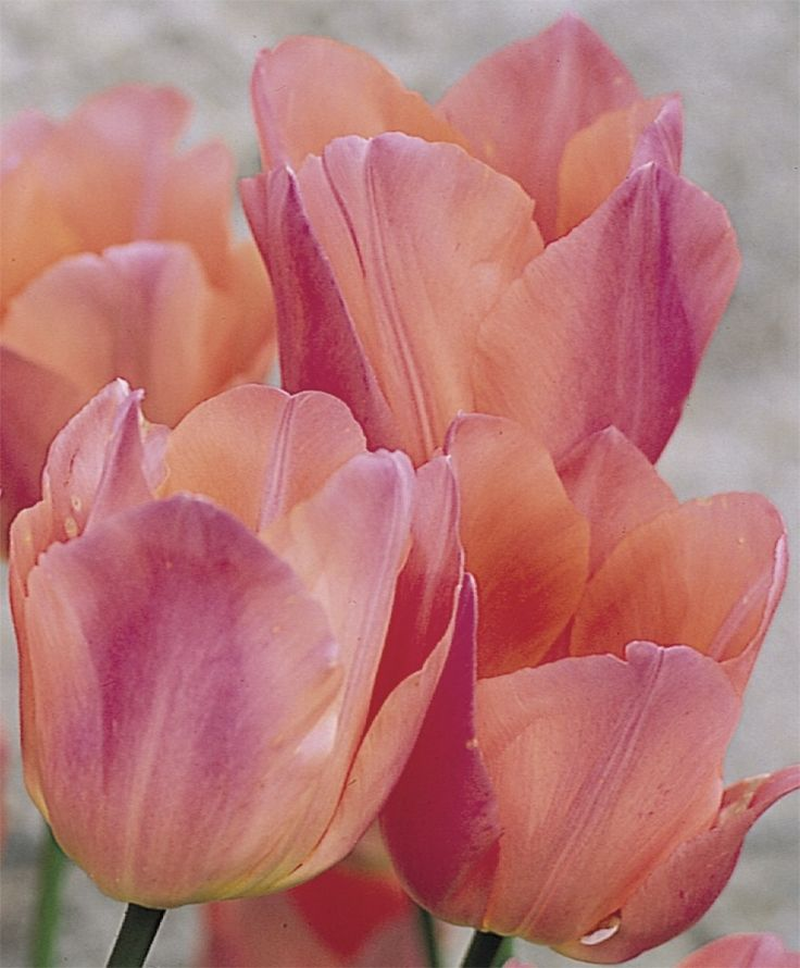 "Tulip Beauty Queen  An award-winning sport of Apricot Beauty, this mildly fragrant beauty features sparkling tones of empire-rose and apricot-salmon above a pale yellow base. Bulb size: 12 cm/up. Mid-April. 16"". HZ: 3-8."