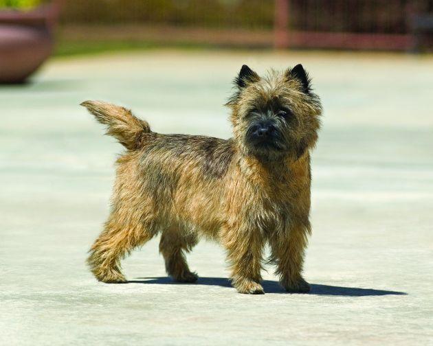 Cairn Terrier Cairn Terrier Terrier Dog Breeds Terrier