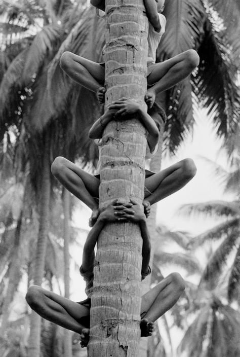 plucking coconuts