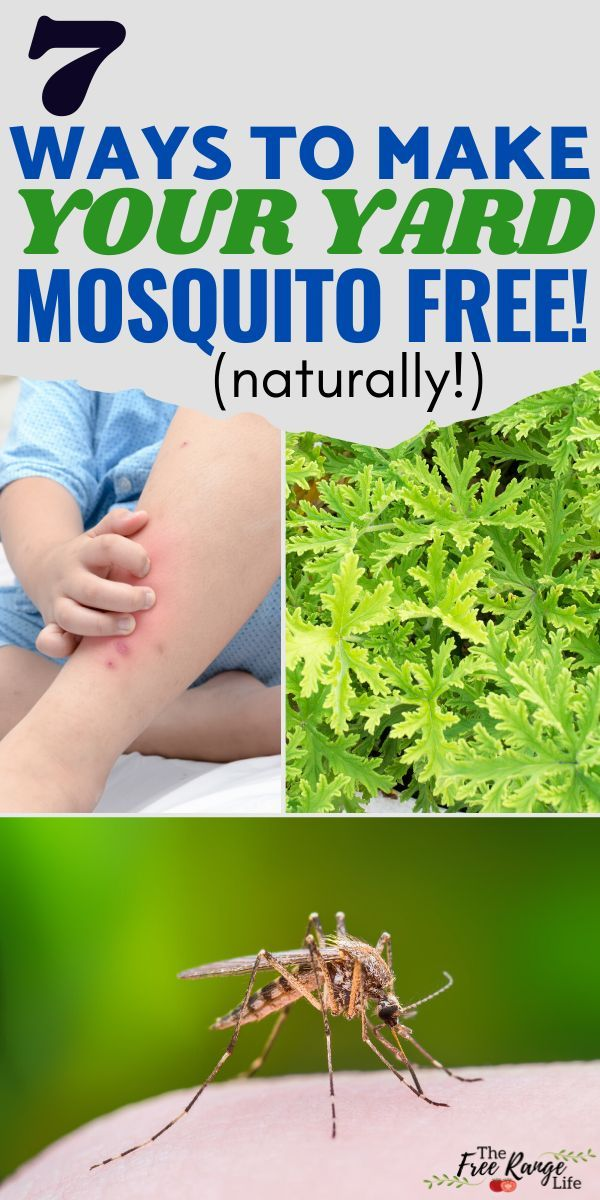 Get Rid Of Mosquitoes 7 Natural Mosquito Repellents For Your Yard In 2020 Natural Mosquito Repellant Mosquito Repellent Mosquito Yard Spray