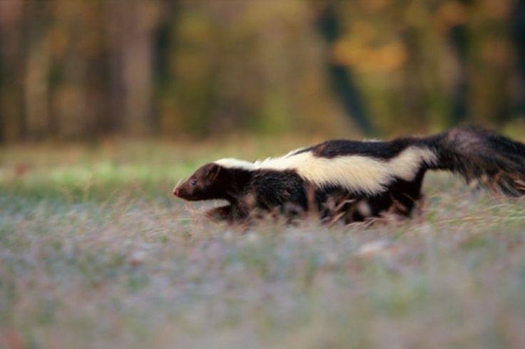 Cómo quitar el olor a zorrillo de la piel de tu mascota | Muy Fitness