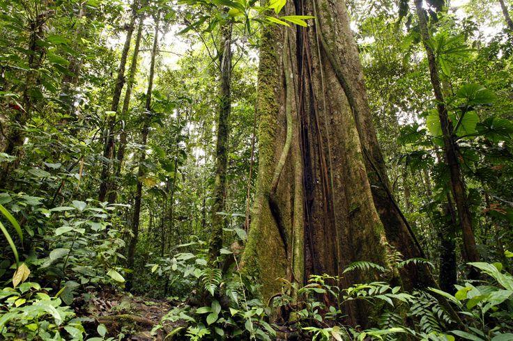 Amazon Rainforest, crazy trees