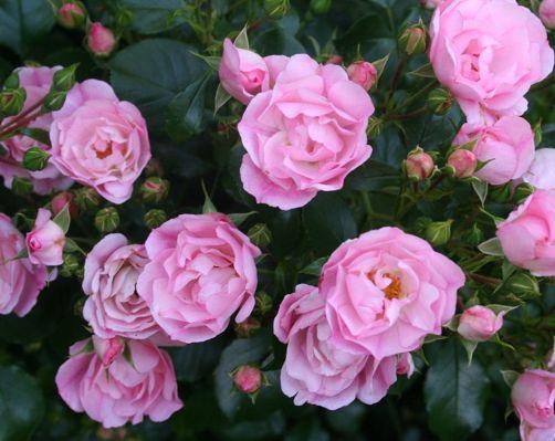 les 25 meilleures id es de la cat gorie rosier couvre sol sur pinterest rosier arbuste. Black Bedroom Furniture Sets. Home Design Ideas