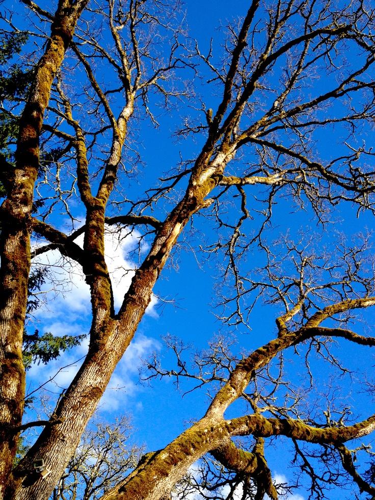 a beautiful day in the neighborhood... endangered garry oak tree (2012)