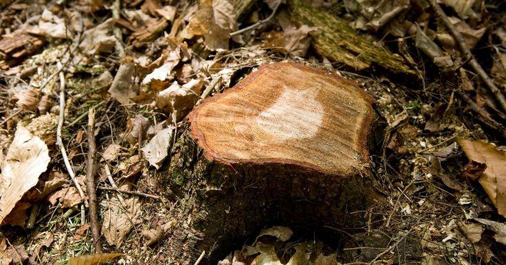 Como retirar um toco de árvore do chão. Um toco de árvore costuma ser uma deformidade na paisagem ou no jardim. Os métodos para remover estes troncos dependem muito do tamanho e da idade da árvore. Felizmente, existem diversas técnicas que você pode usar para remover uma variedade de tocos de árvores do seu jardim, sem precisar gastar dinheiro contratando um profissional para fazer o ...