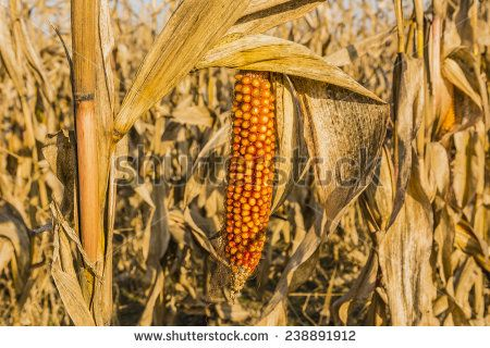 Mature maize ear on a stalk