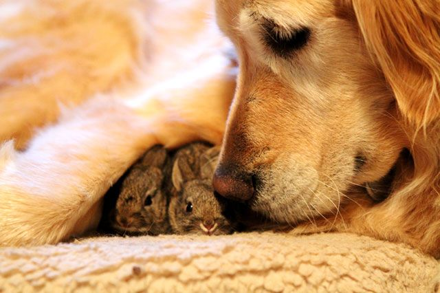 Golden Retriever caring for two abandoned bunnies. PRECIOUS.