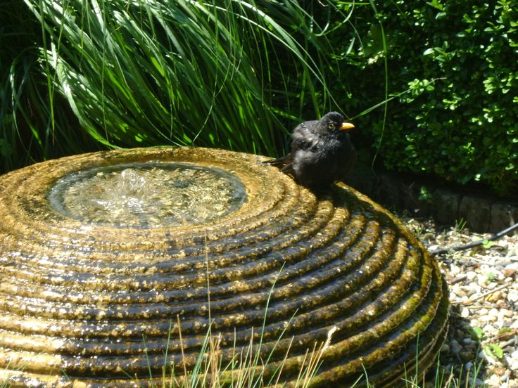 Blackbird looking for a swim