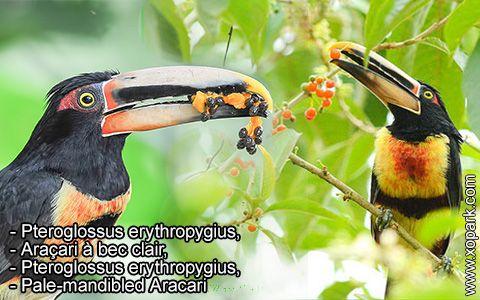 Pteroglossus erythropygius – Araçari à bec clair –Pteroglossus erythropygius –Pale-mandibled Aracari – xopark4