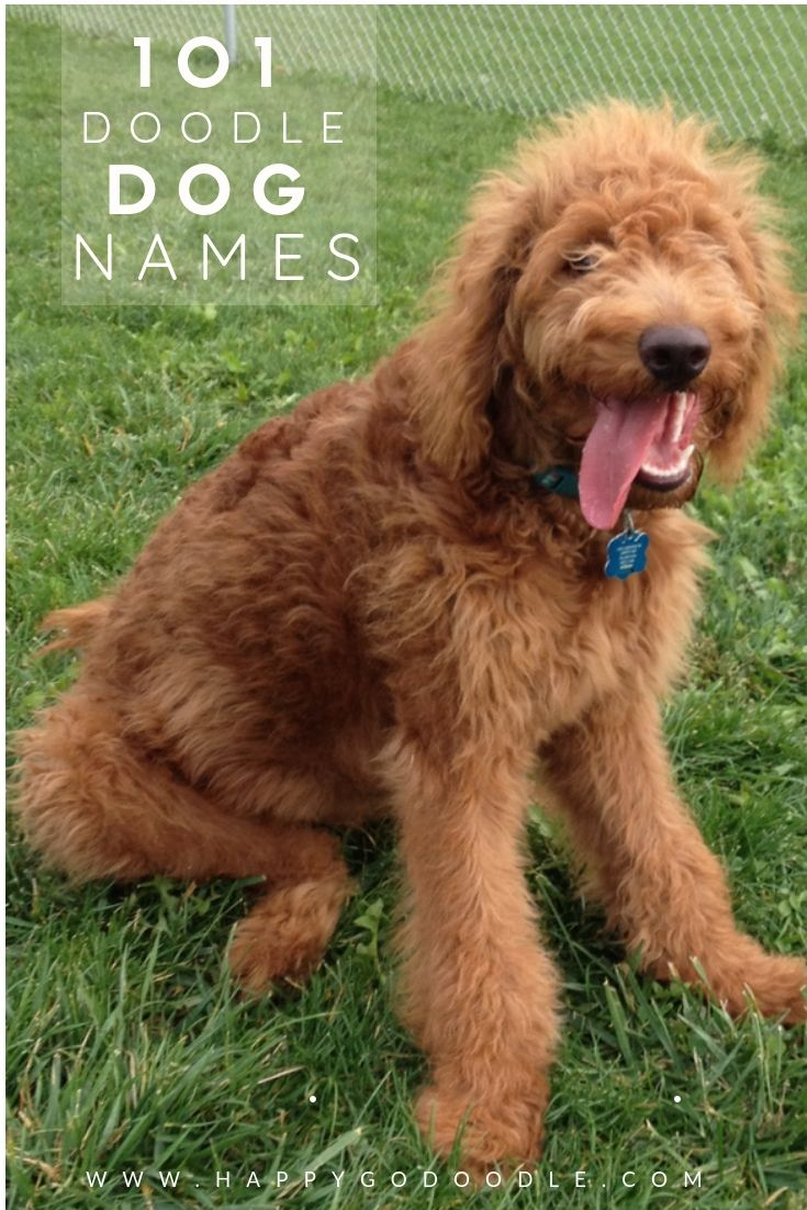 101 Goldendoodle Names That Are Adorable Goldendoodle Names Dog