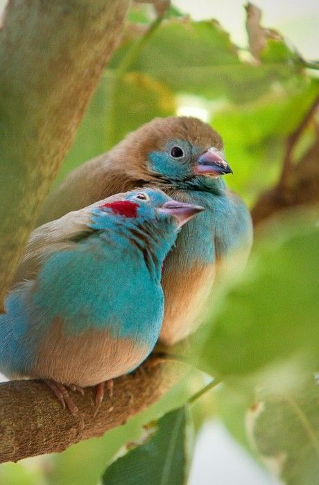 (well, this is a photo, but as beautiful as a painting!) cordon blue finches (male has red cheeks)
