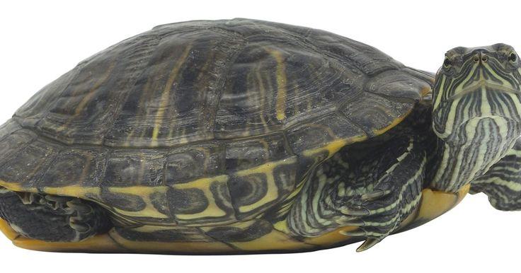 Cómo mantener a las tortugas de panza amarilla. Las vientre amarillo o deslizadoras de vientre amarillo son un tipo de tortuga muy relacionado con la común de vientre rojo, que muy a menudo se tienen encontrar como mascotas. Estas tortugas, las cuales son nativas de los Estados Unidos, son consideradas una especie relativamente fácil de cuidar, lo que hace de ellas una buena elección para un ...