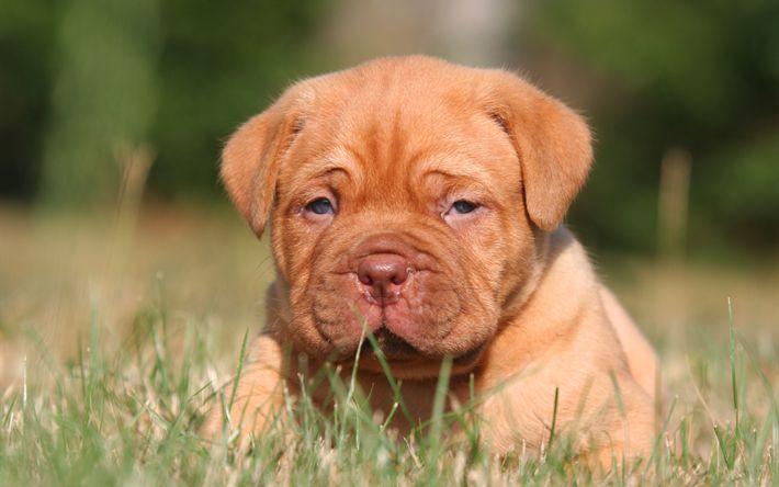 Download wallpapers 4k, Bordeaux mastiff, muzzle, puppy, pets, lawn, Dogue de Bordeaux, dogs, French mastiff