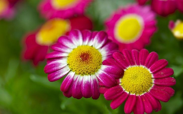 Chamomile Red Flowers Wallpaper