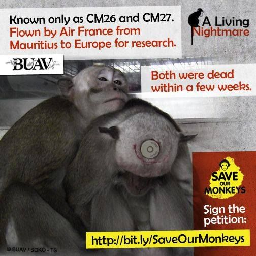 The BUAV remembers three long-tailed macaques from Mauritius, known only as CM26, CM27 and CM28, who one year ago arrived at the Max Planck Institute for Biological Cybernetics in Germany. A head chamber was surgically implanted in their skulls; they suffered bruising and bleeding and their wounds became infected with MRSA. Within three months they were dead.