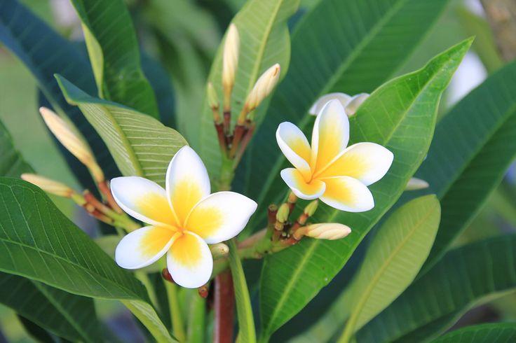 """Wandkalender """"Mauritius – traumhaft und unvergesslich"""", Kalenderblatt Juli: wunderbar duftende Frangipani-Blüten"""