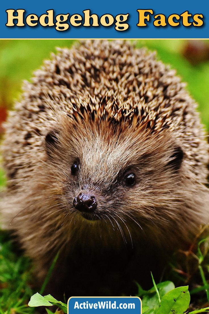 Learn about hedgehogs! Hedgehogs are small spiny mammals in the subfamily Erinaceinae. Sixteen species of hedgehog are currently recognized. You'll be a hedgehog expert after visiting this page!