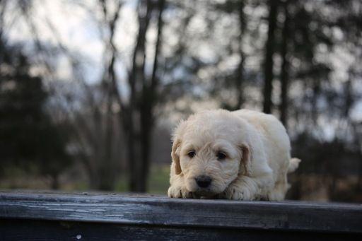 Goldendoodle puppy for sale in GLASGOW, KY. ADN-67161 on PuppyFinder.com Gender: Male. Age: 6 Weeks Old