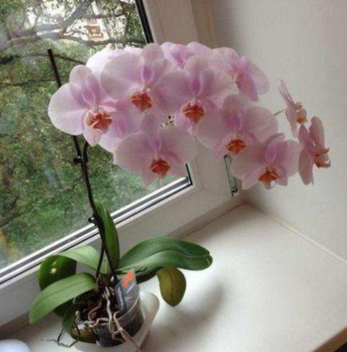 8 хитростей, чтобы орхидея всегда цвела