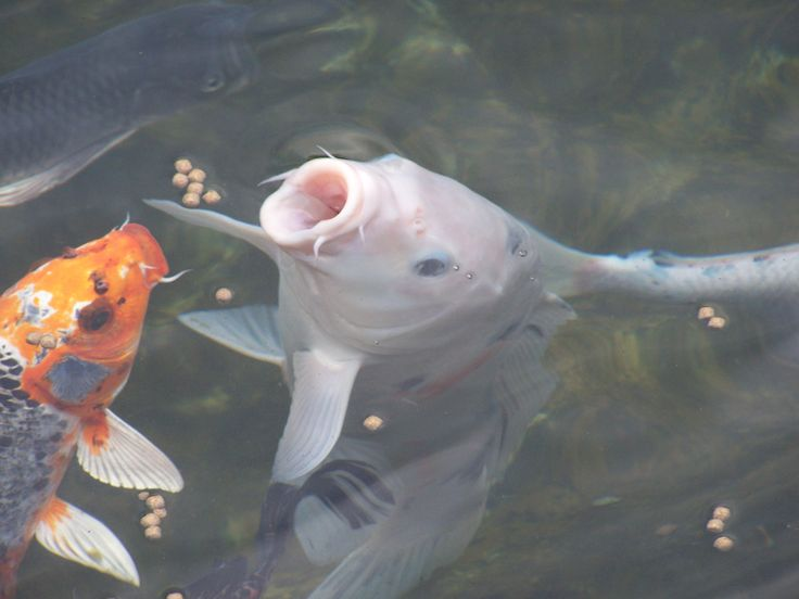 17 best images about love my pond on pinterest backyard for Koi pond fish