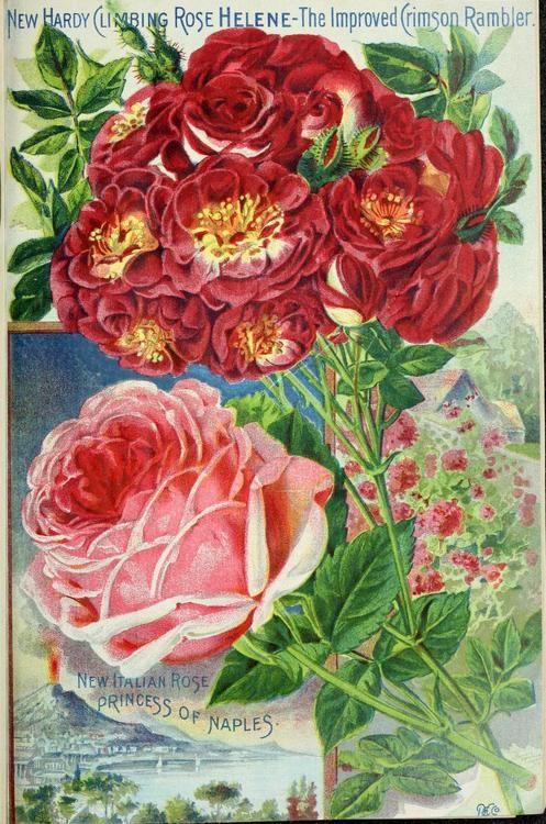 319 best language of the rose images on pinterest | vintage