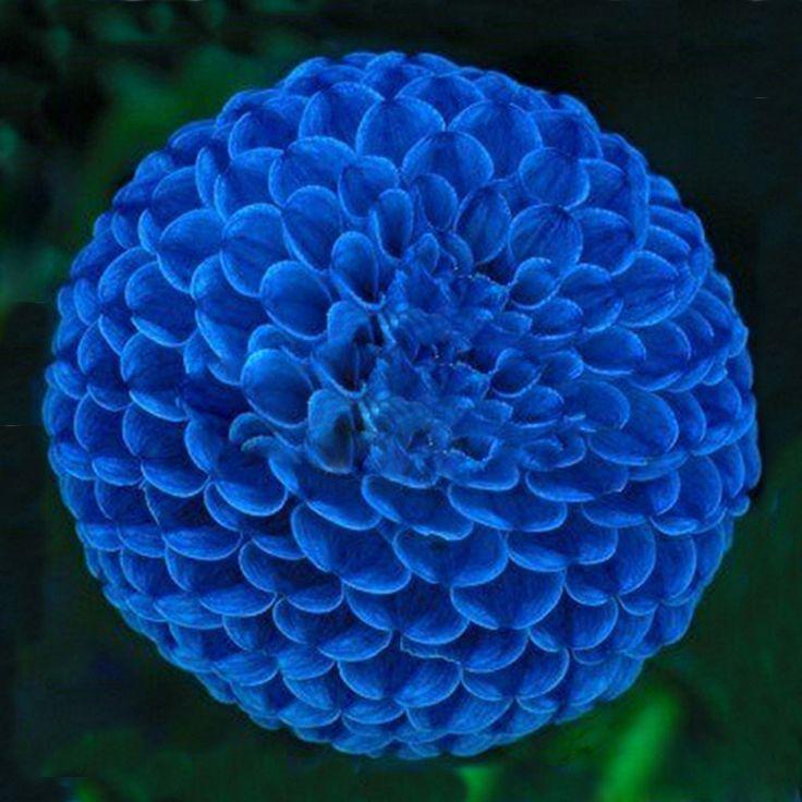 Hot vente unique bleu boule de feu dahlia graines belle bonsa plantes graine - Code livraison gratuite vente unique ...