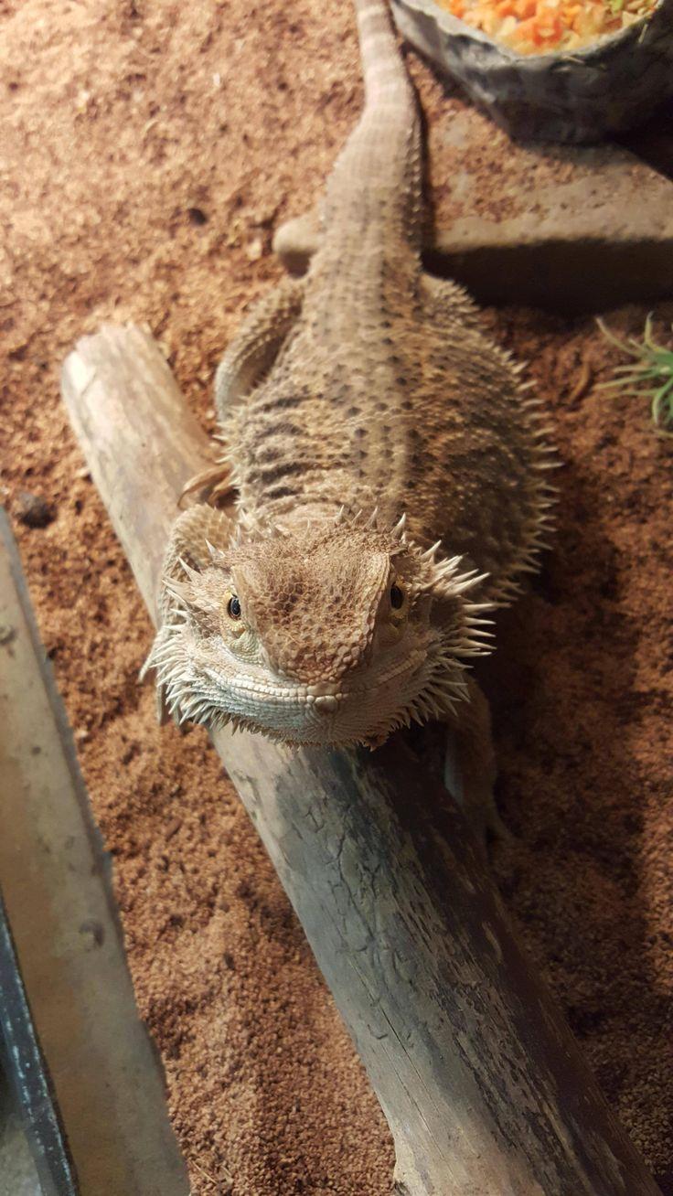 My bearded dragon always has a smile!