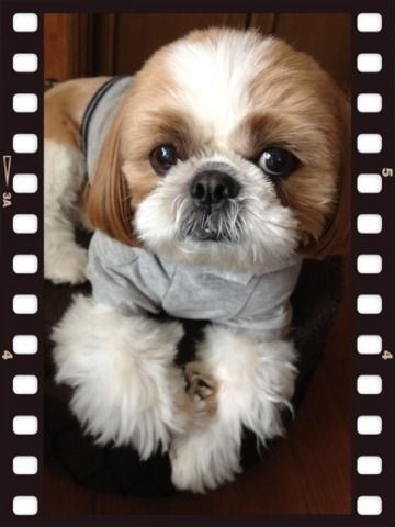 angelbaby shih tzu 17 best images about cute shitzu s on pinterest shiz tzu 6586