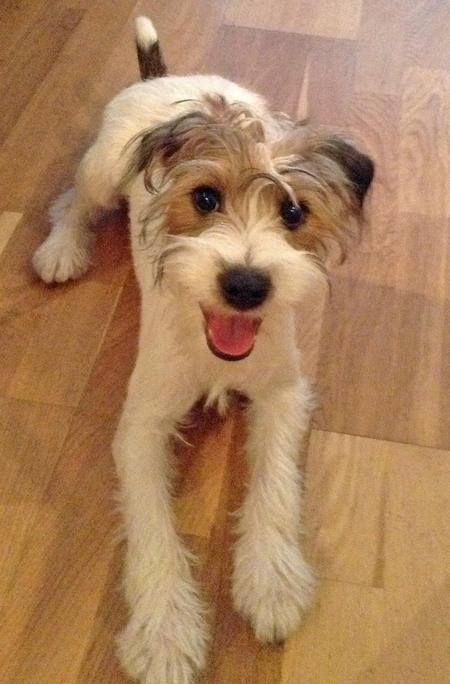 Tesla the Jack Russell Terrier