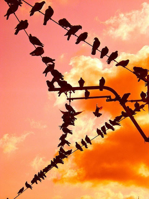 A beautiful murder.... of crows.