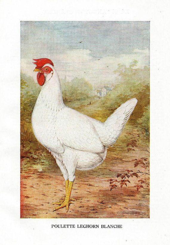 Poule et coq planche botanique illustration couleur circa 1915 race poules Leghorn blanche lithographie dessin ancien