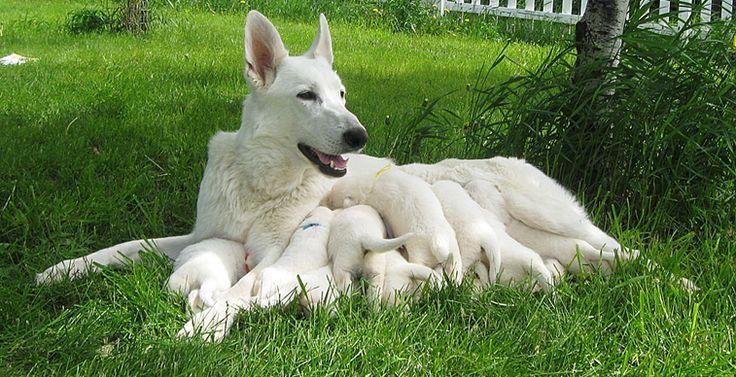 Ravenswood Hollow White German Shepherd Puppies White