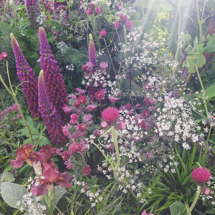 Lupins come alive in May. IAE Tours can organise tickets