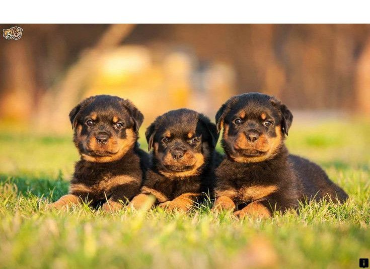 Discover More About Rottweiler Dog Follow The Link For More The