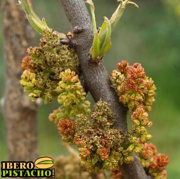 El Pistachero, una planta dioica - Floración y brotado de yemas de pistacho  www.iberopistacho.com