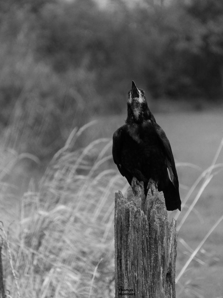 Corbeau freux - Corvus frugilegus - Rook by Thomas Humbert