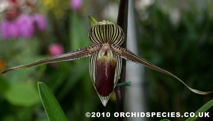 Paphiopedilum Orchids Plants for Sale | Paphiopedilum rothschildianum