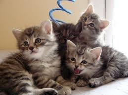 www.petclic.es la mayor tienda online de productos para #mascotas. La mayor biblioteca de contenido y consejos sobre mascotas. 1.000 consejos. 50.000 imágenes. Foto del #gato #siberiano #cachorros