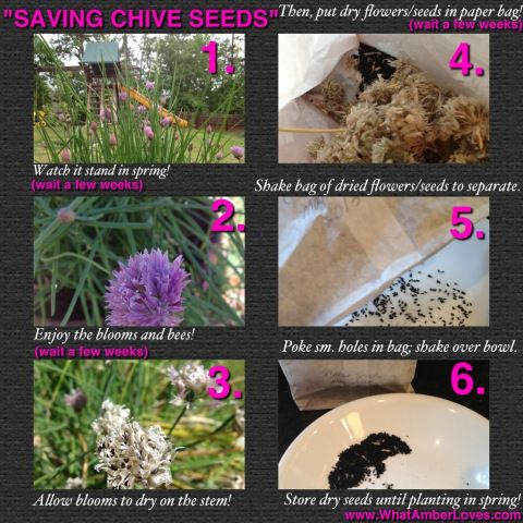 SAVING CHIVE SEEDS, an easy TUTORIAL! Bake the seeds in bread or save the seeds for planting in spring!