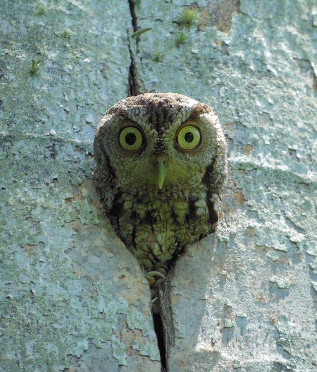 Eastern Screech Owl (Megascops asio) at nest hollow. Photo by Jose Arellano.