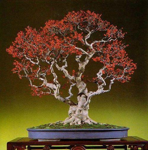 Japanese Winterberry - Ilex serrata...