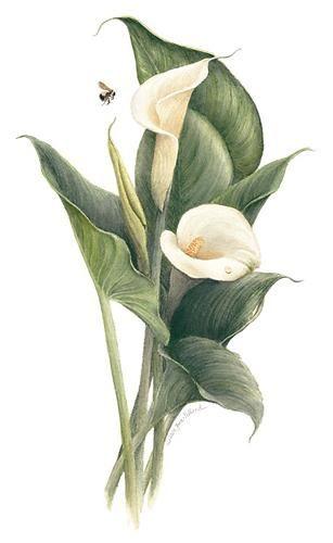 Jane Pelland | American Society of Botanical Artists