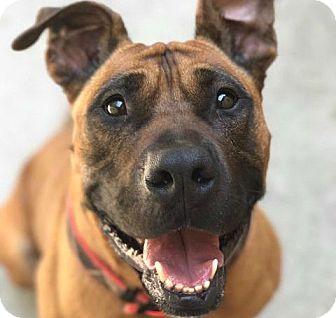 Pontiac, MI - Boxer/Pit Bull Terrier Mix. Meet Lenny, a dog for adoption. http://www.adoptapet.com/pet/18550476-pontiac-michigan-boxer-mix