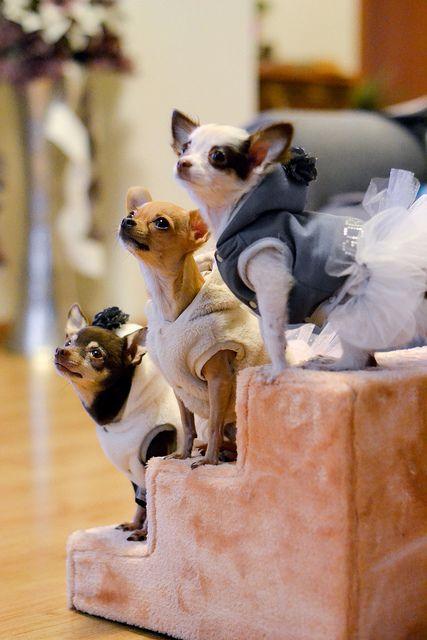 Chihuahua...