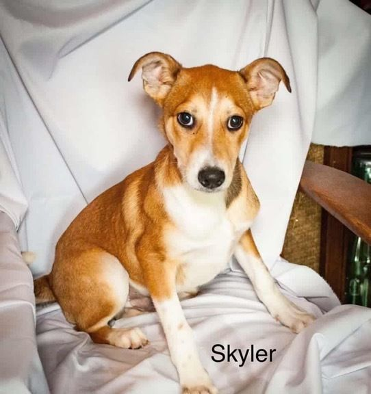 Adopt Skyler On Rescue Dogs Labrador Retriever Dogs